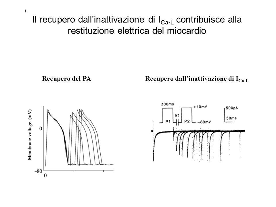Recupero del PARecupero dallinattivazione di I Ca-L Il recupero dallinattivazione di I Ca-L contribuisce alla restituzione elettrica del miocardio
