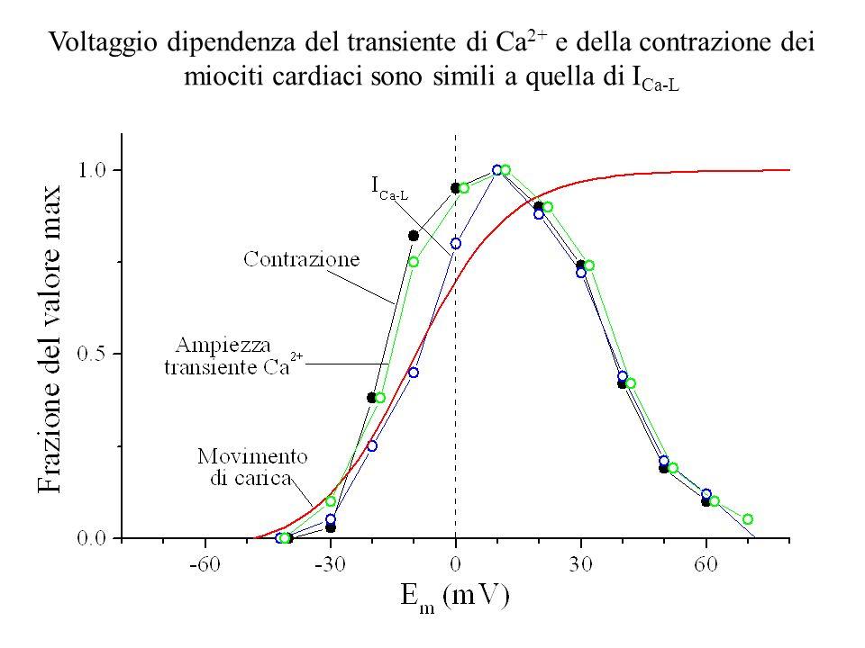 Voltaggio dipendenza del transiente di Ca 2+ e della contrazione dei miociti cardiaci sono simili a quella di I Ca-L