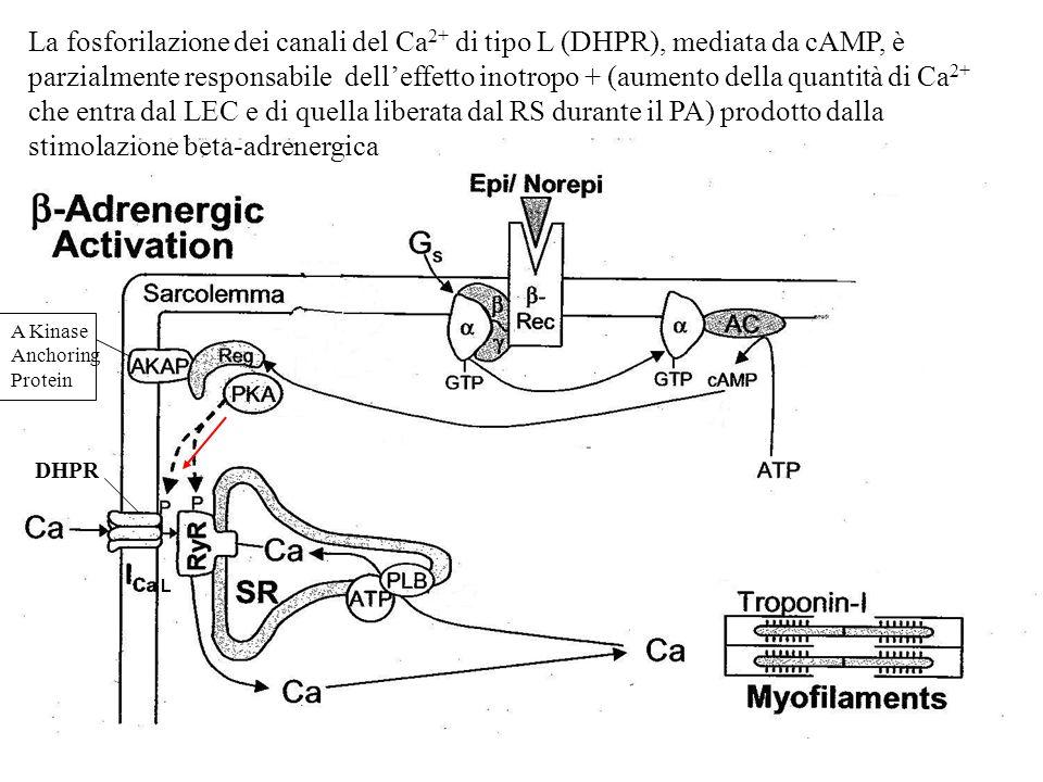 La fosforilazione dei canali del Ca 2+ di tipo L (DHPR), mediata da cAMP, è parzialmente responsabile delleffetto inotropo + (aumento della quantità d