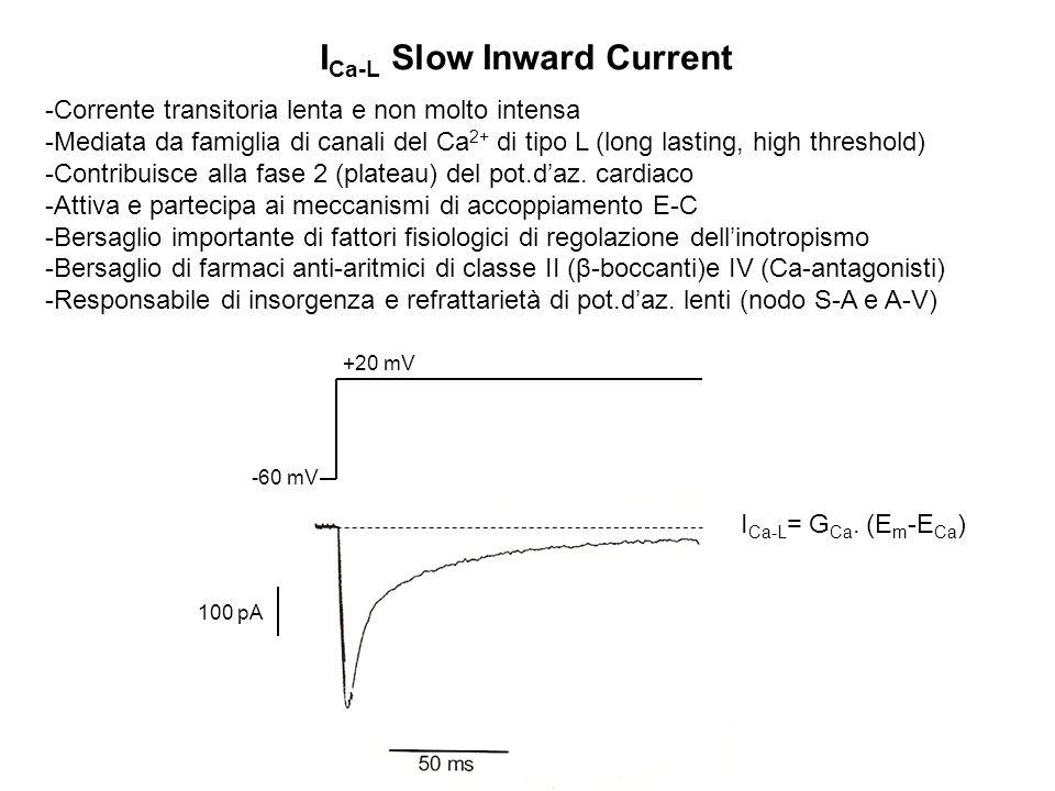 I Ca-L Slow Inward Current -Corrente transitoria lenta e non molto intensa -Mediata da famiglia di canali del Ca 2+ di tipo L (long lasting, high thre