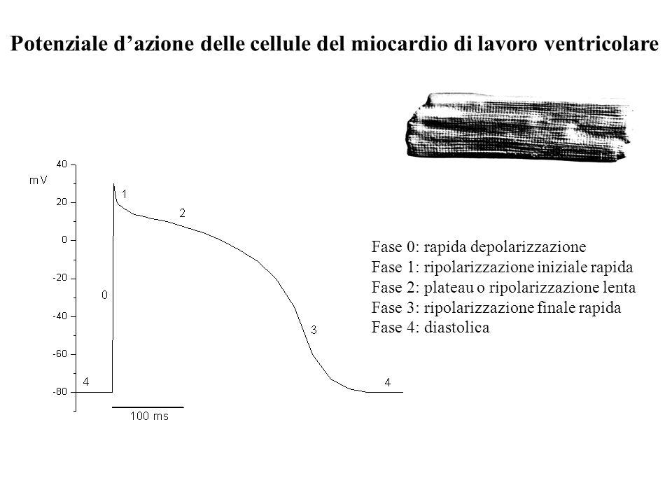 Potenziale dazione delle cellule del miocardio di lavoro ventricolare Fase 0: rapida depolarizzazione Fase 1: ripolarizzazione iniziale rapida Fase 2: