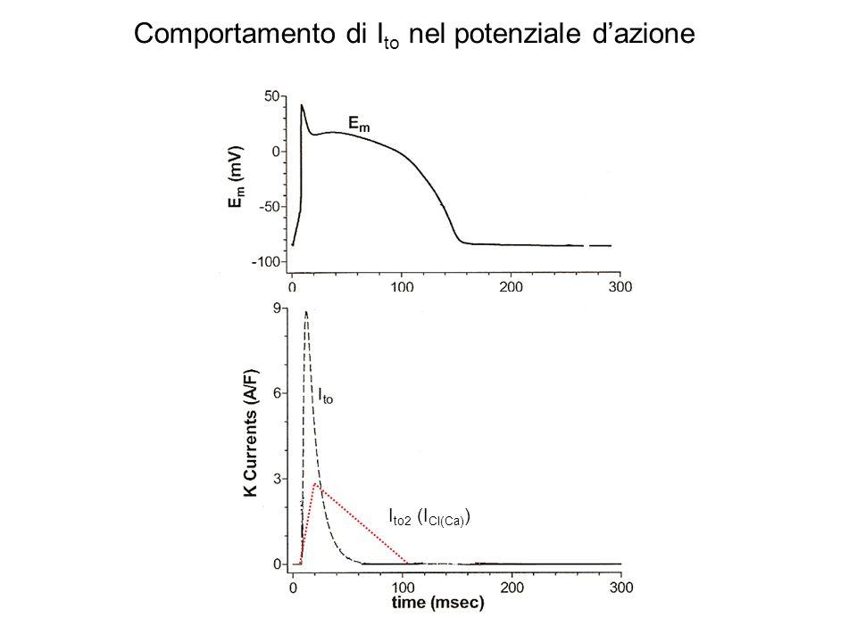 Comportamento di I to nel potenziale dazione I to2 (I Cl(Ca) )