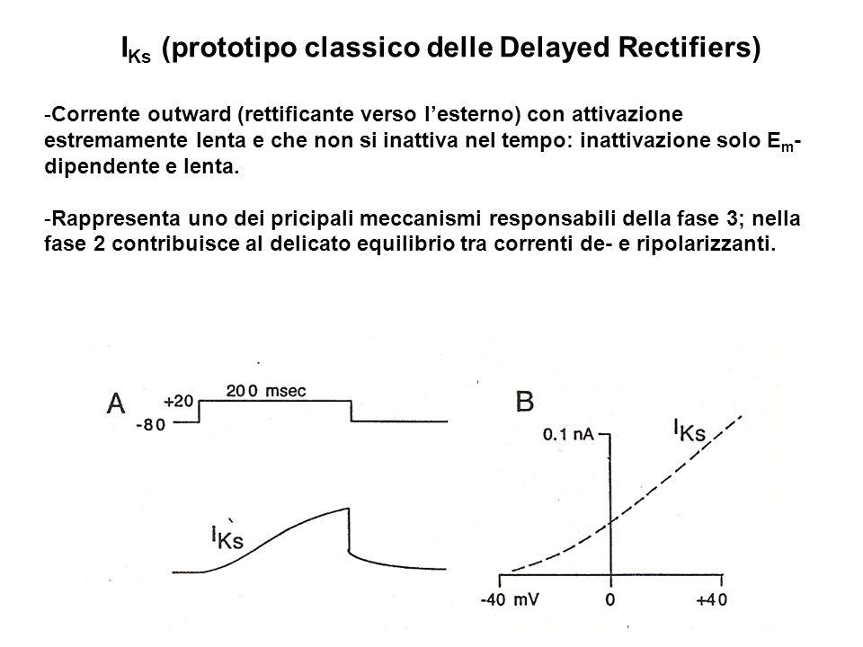 I Ks (prototipo classico delle Delayed Rectifiers) -Corrente outward (rettificante verso lesterno) con attivazione estremamente lenta e che non si ina