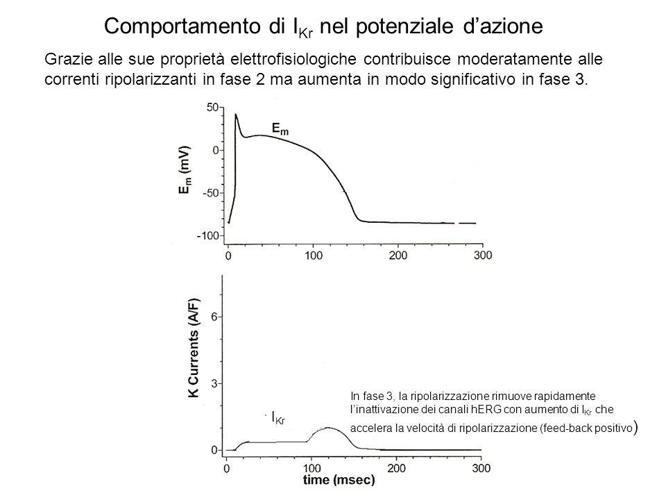 Comportamento di I Kr nel potenziale dazione I Kr In fase 3, la ripolarizzazione rimuove rapidamente linattivazione dei canali hERG con aumento di I K
