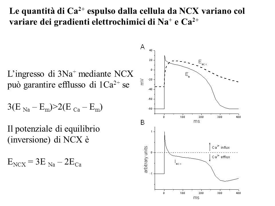 Lingresso di 3Na + mediante NCX può garantire efflusso di 1Ca 2+ se 3(E Na – E m )>2(E Ca – E m ) Il potenziale di equilibrio (inversione) di NCX è E