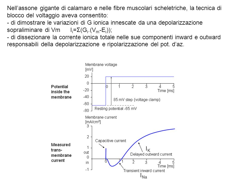 Dissezione della corrente ionica totale nelle componenti inward e outward responsabili della depolarizzazione e ripolarizzazione del pot.