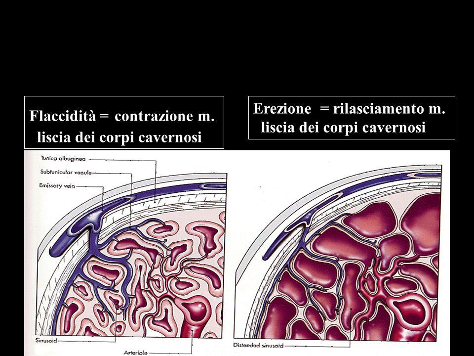 Flaccidità = contrazione m. liscia dei corpi cavernosi Erezione = rilasciamento m. liscia dei corpi cavernosi
