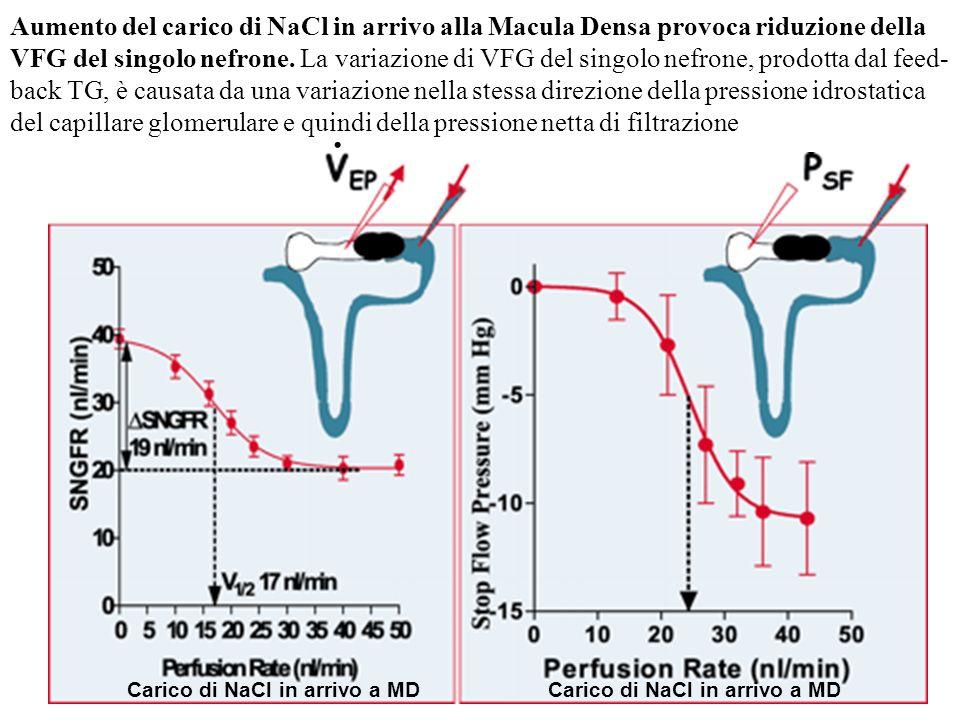 . Aumento del carico di NaCl in arrivo alla Macula Densa provoca riduzione della VFG del singolo nefrone. La variazione di VFG del singolo nefrone, pr