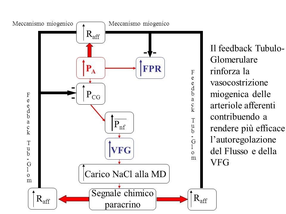 PAPA P CG FPR P nf VFG Carico NaCl alla MD Segnale chimico paracrino R aff FeedbackTub-GlomFeedbackTub-Glom Meccanismo miogenico - ---- R aff Feedback