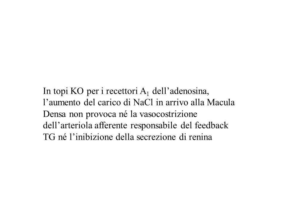 In topi KO per i recettori A 1 delladenosina, laumento del carico di NaCl in arrivo alla Macula Densa non provoca né la vasocostrizione dellarteriola