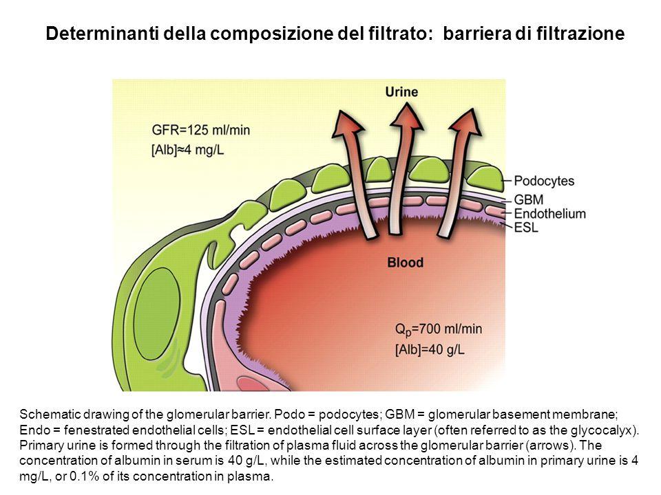 Schematic drawing of the glomerular barrier. Podo = podocytes; GBM = glomerular basement membrane; Endo = fenestrated endothelial cells; ESL = endothe