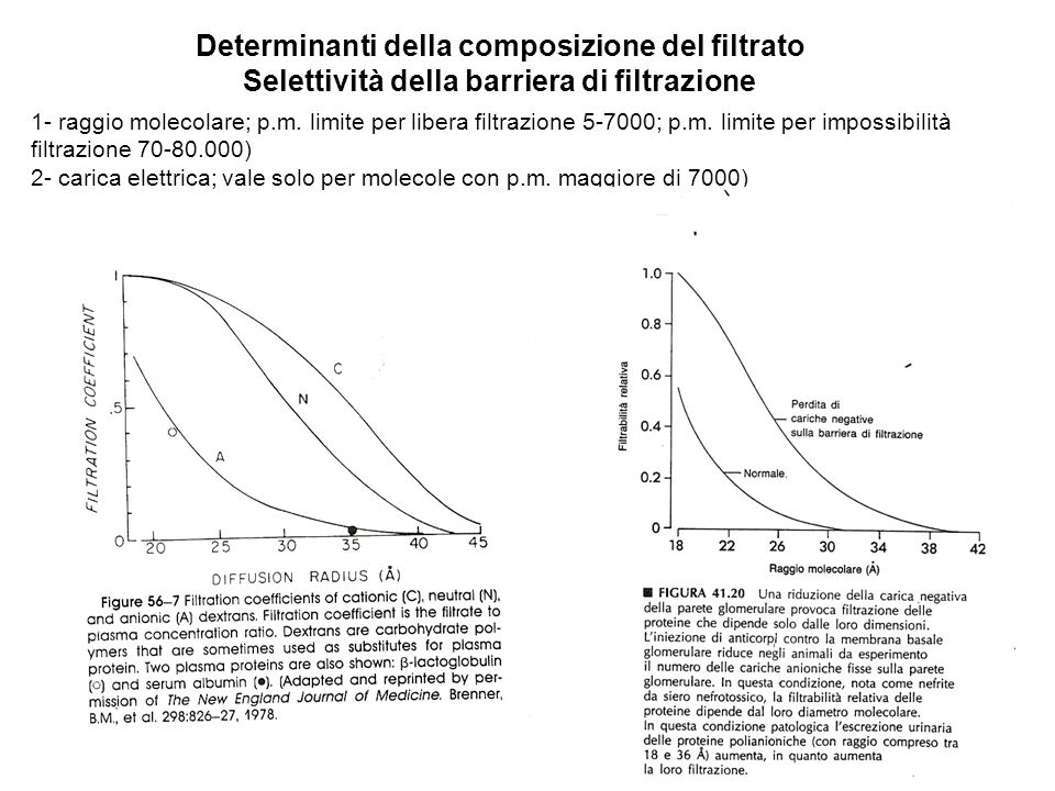 Determinanti della composizione del filtrato Selettività della barriera di filtrazione 1- raggio molecolare; p.m. limite per libera filtrazione 5-7000