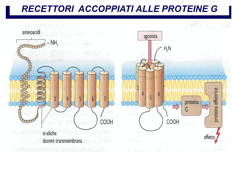 Farmacologia per immagini Atlante tascabile II Edizione Italiana Lullmann Mohr RECETTORI ACCOPPIATI ALLE PROTEINE G