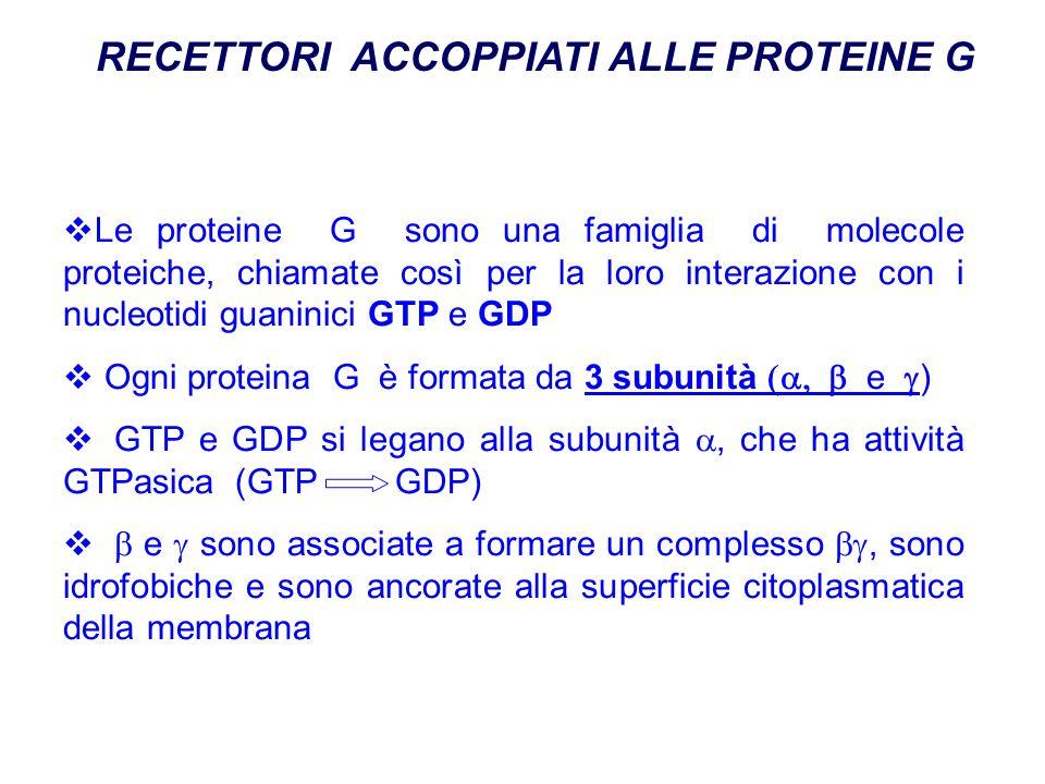 RECETTORI ACCOPPIATI ALLE PROTEINE G Le proteine G sono una famiglia di molecole proteiche, chiamate così per la loro interazione con i nucleotidi guaninici GTP e GDP Ogni proteina G è formata da 3 subunità e ) GTP e GDP si legano alla subunità, che ha attività GTPasica (GTP GDP) e sono associate a formare un complesso, sono idrofobiche e sono ancorate alla superficie citoplasmatica della membrana