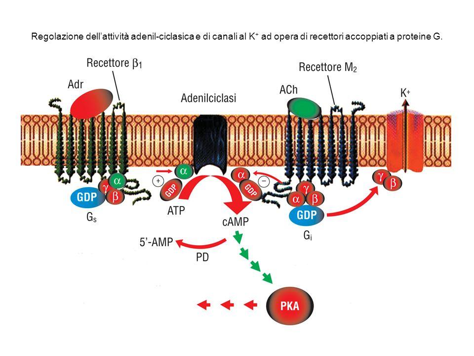 Regolazione dellattività adenil-ciclasica e di canali al K + ad opera di recettori accoppiati a proteine G.