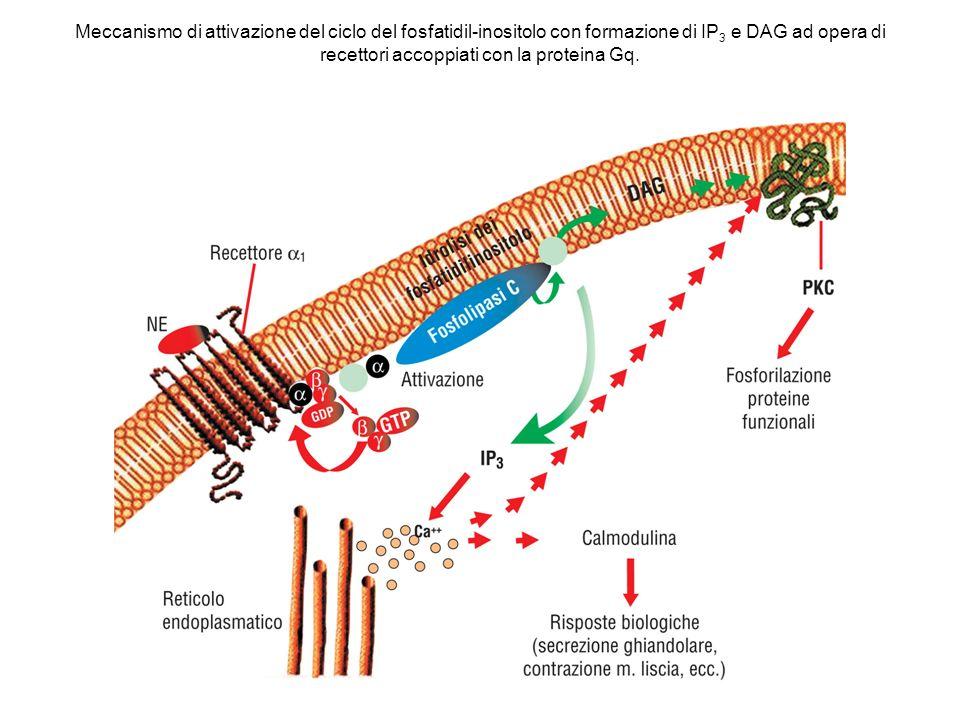 Meccanismo di attivazione del ciclo del fosfatidil-inositolo con formazione di IP 3 e DAG ad opera di recettori accoppiati con la proteina Gq.