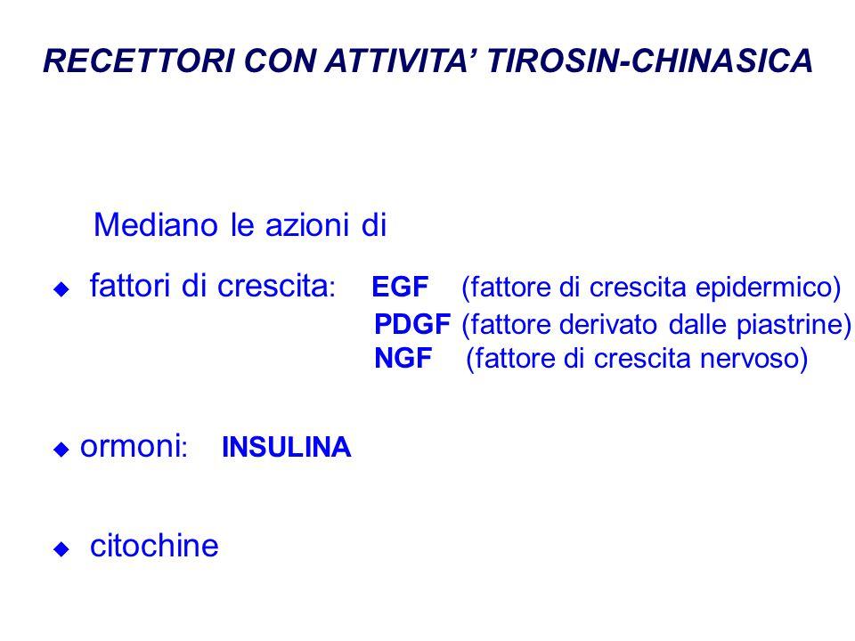 RECETTORI CON ATTIVITA TIROSIN-CHINASICA Mediano le azioni di fattori di crescita : EGF (fattore di crescita epidermico) PDGF (fattore derivato dalle piastrine) NGF (fattore di crescita nervoso) ormoni : INSULINA citochine