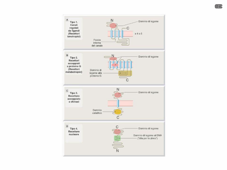 RECETTORI INTRACELLULARI Interagiscono con il genoma, modificando lespressione genica e quindi la composizione proteica della cellula Trasducono il segnale portato da ormoni e da altri mediatori lipofilici (ormoni steroidei e tiroidei, acido retinoico, vitamina D, ecc) Farmacologia per immagini Atlante tascabile II Edizione Italiana Lullmann Mohr