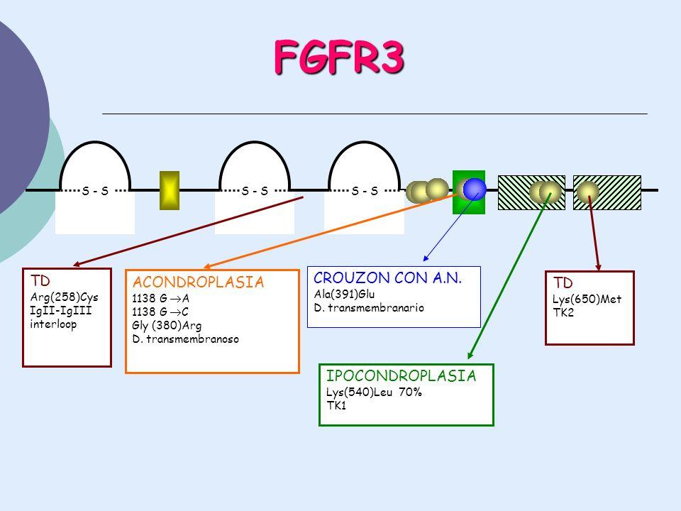 FGFR3 S - S CROUZON CON A.N. Ala(391)Glu D. transmembranario IPOCONDROPLASIA Lys(540)Leu 70% TK1 TD Lys(650)Met TK2 TD Arg(258)Cys IgII-IgIII interloo
