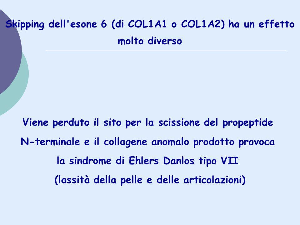 Skipping dell'esone 6 (di COL1A1 o COL1A2) ha un effetto molto diverso Viene perduto il sito per la scissione del propeptide N-terminale e il collagen