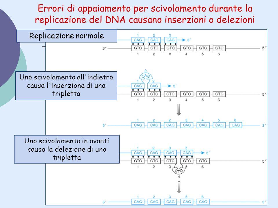 Errori di appaiamento per scivolamento durante la replicazione del DNA causano inserzioni o delezioni Replicazione normale Uno scivolamento all'indiet