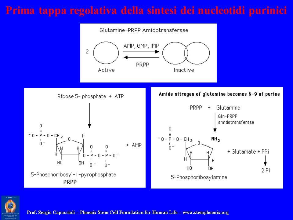 Prima tappa regolativa della sintesi dei nucleotidi purinici