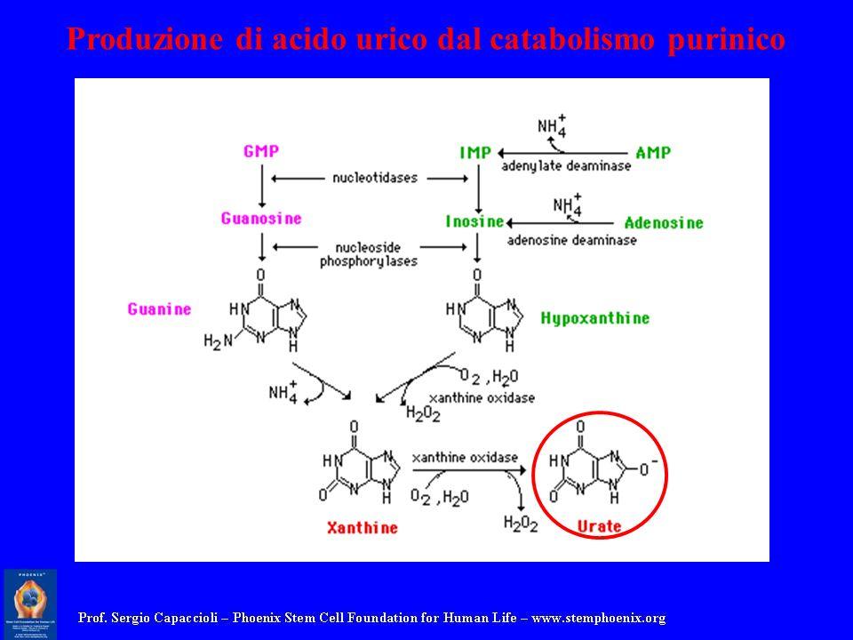 Produzione di acido urico dal catabolismo purinico