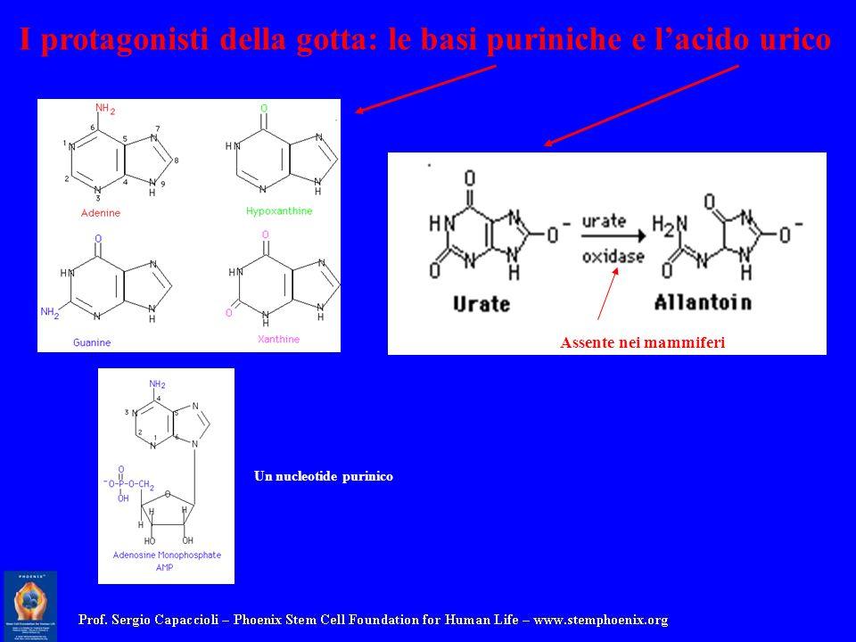I protagonisti della gotta: le basi puriniche e lacido urico Assente nei mammiferi Un nucleotide purinico