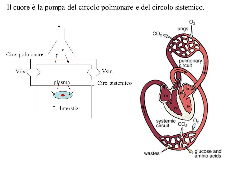 Vdx Vsin Circ. polmonare Circ. sistemico L. Interstiz. plasma Il cuore è la pompa del circolo polmonare e del circolo sistemico.