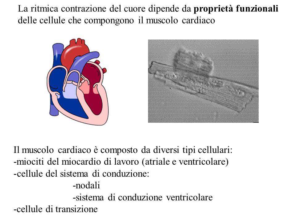 La ritmica contrazione del cuore dipende da proprietà funzionali delle cellule che compongono il muscolo cardiaco Il muscolo cardiaco è composto da di