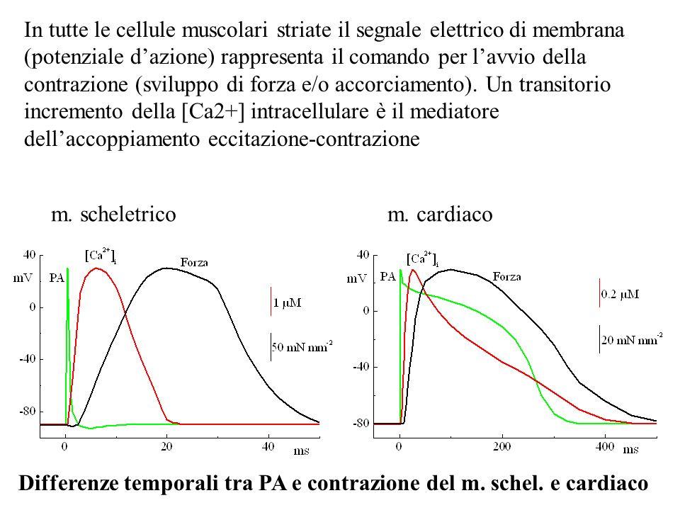 In tutte le cellule muscolari striate il segnale elettrico di membrana (potenziale dazione) rappresenta il comando per lavvio della contrazione (svilu