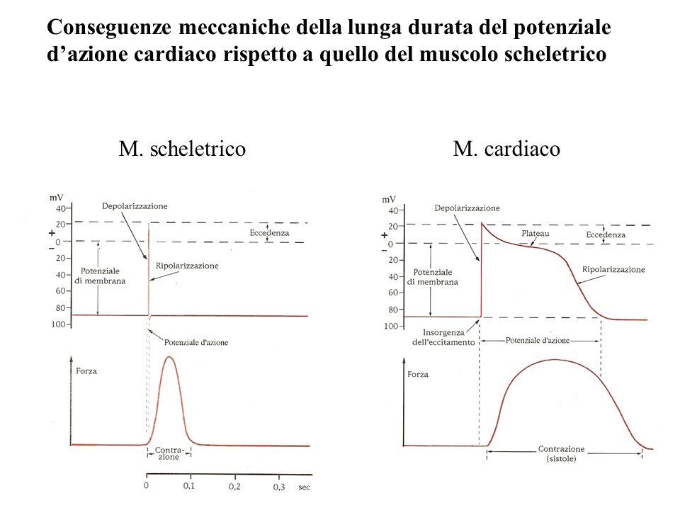 Conseguenze meccaniche della lunga durata del potenziale dazione cardiaco rispetto a quello del muscolo scheletrico M. scheletricoM. cardiaco