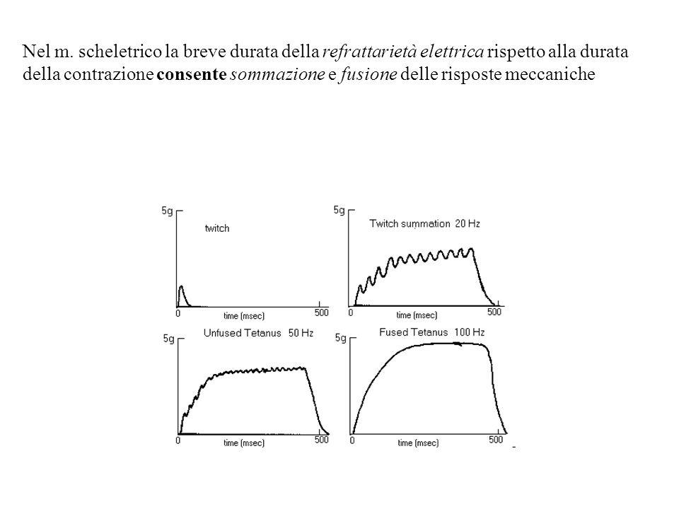 Nel m. scheletrico la breve durata della refrattarietà elettrica rispetto alla durata della contrazione consente sommazione e fusione delle risposte m