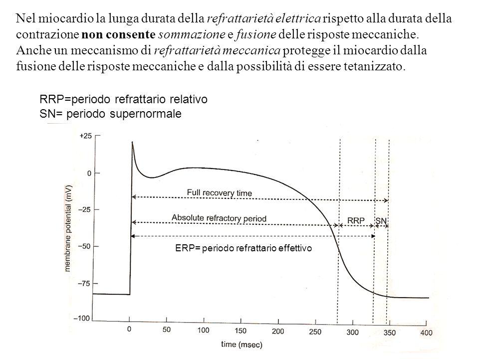 RRP=periodo refrattario relativo SN= periodo supernormale ERP= periodo refrattario effettivo Nel miocardio la lunga durata della refrattarietà elettri