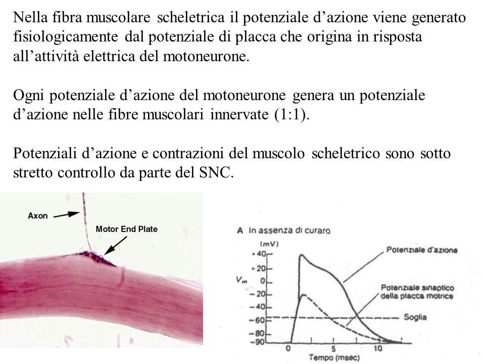 Nella fibra muscolare scheletrica il potenziale dazione viene generato fisiologicamente dal potenziale di placca che origina in risposta allattività e