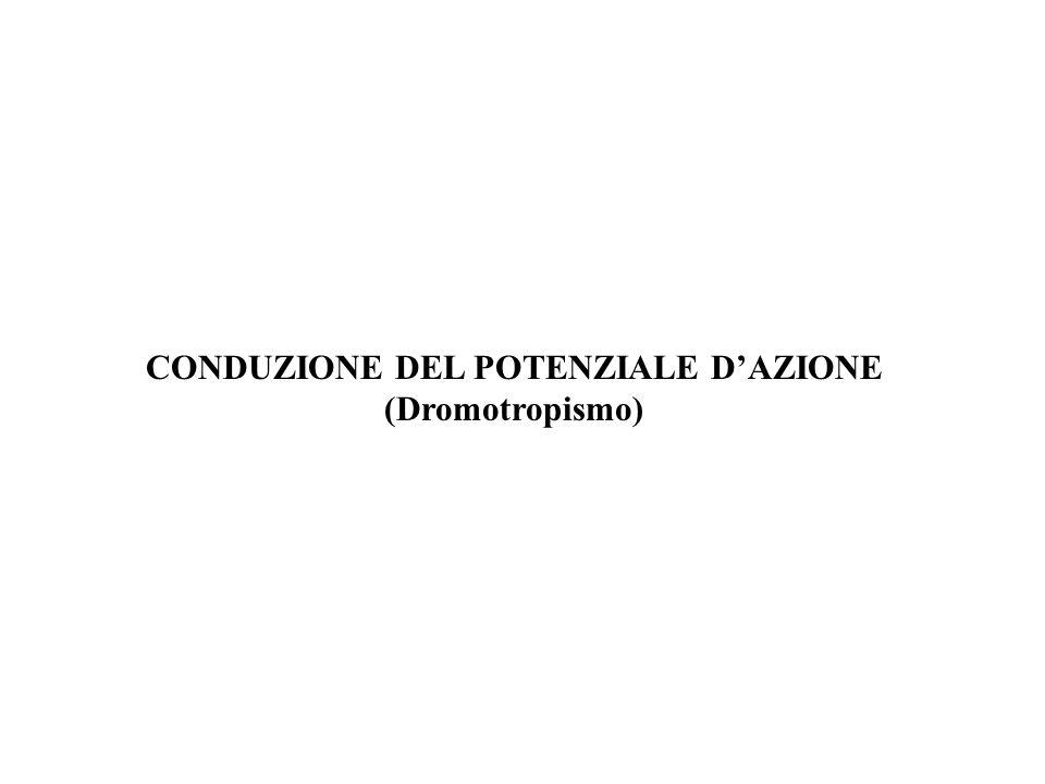 CONDUZIONE DEL POTENZIALE DAZIONE (Dromotropismo)