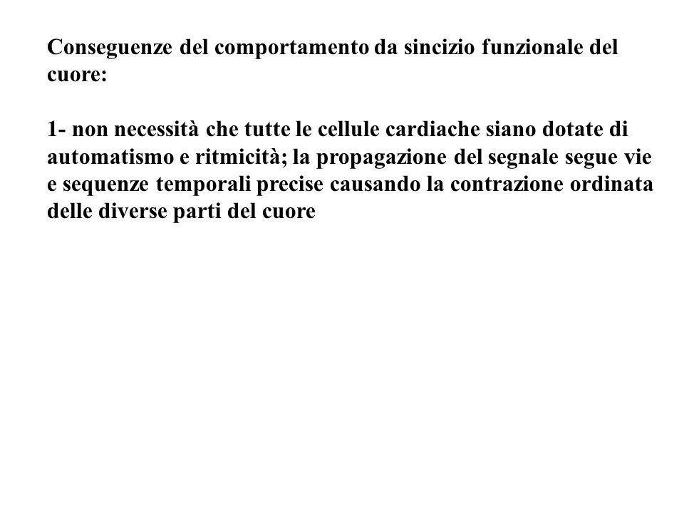 Conseguenze del comportamento da sincizio funzionale del cuore: 1- non necessità che tutte le cellule cardiache siano dotate di automatismo e ritmicit