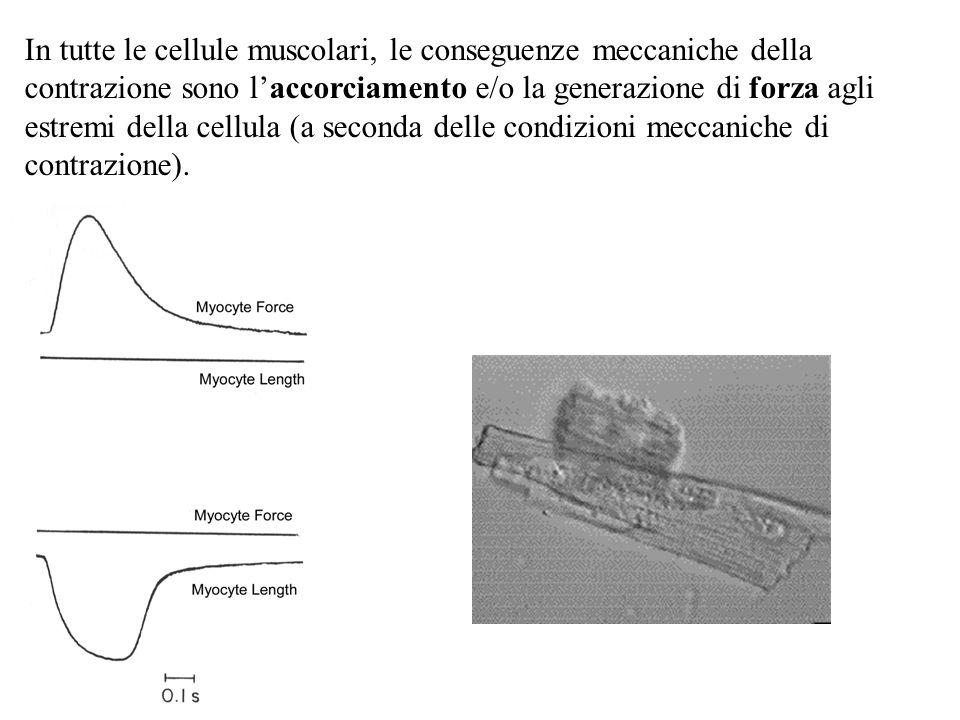 In tutte le cellule muscolari, le conseguenze meccaniche della contrazione sono laccorciamento e/o la generazione di forza agli estremi della cellula