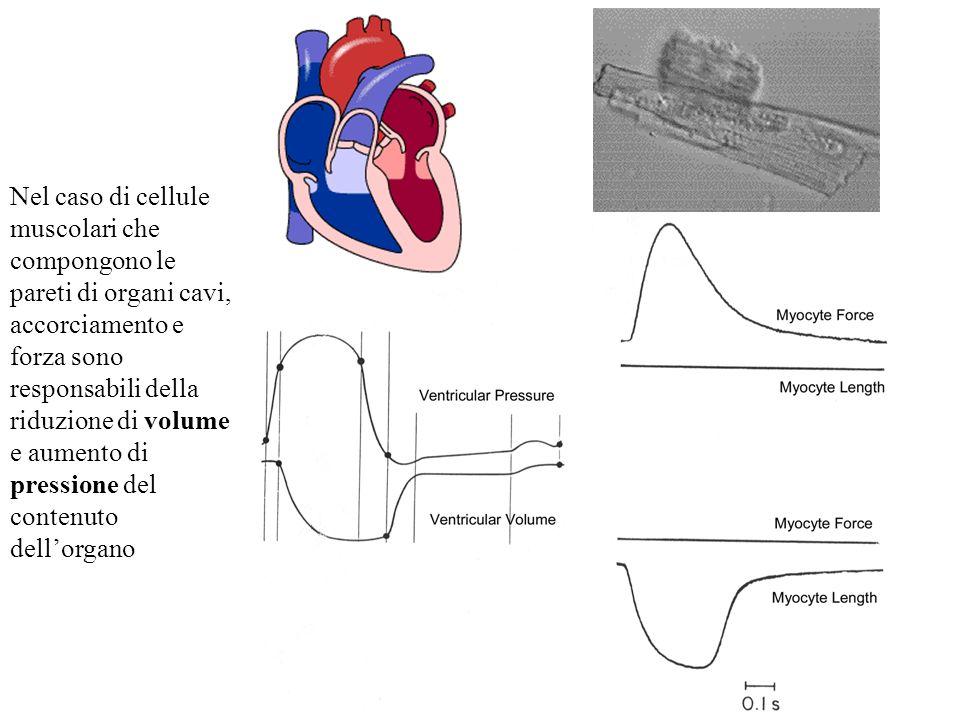Nel caso di cellule muscolari che compongono le pareti di organi cavi, accorciamento e forza sono responsabili della riduzione di volume e aumento di