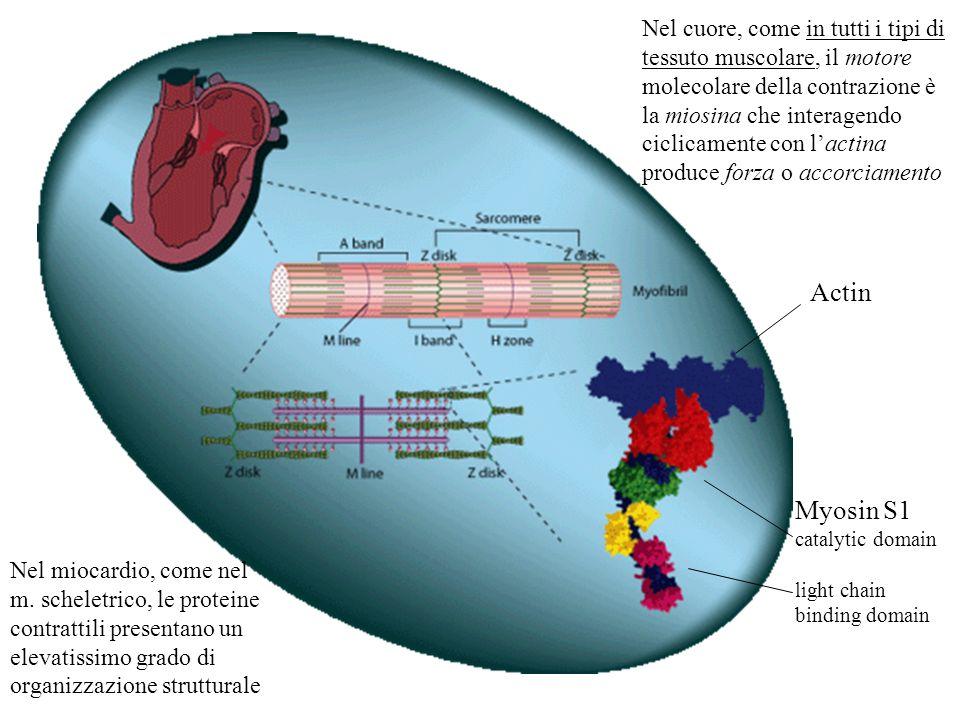 Actin Myosin S1 catalytic domain light chain binding domain Nel cuore, come in tutti i tipi di tessuto muscolare, il motore molecolare della contrazio
