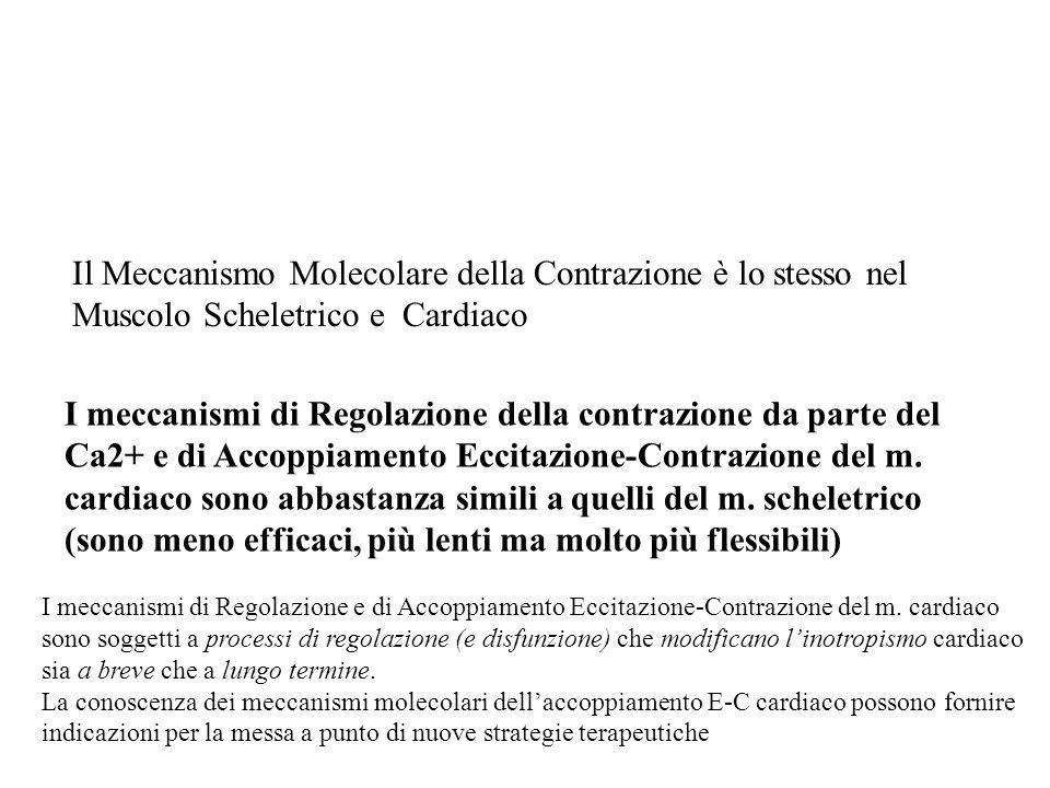 Il Meccanismo Molecolare della Contrazione è lo stesso nel Muscolo Scheletrico e Cardiaco I meccanismi di Regolazione della contrazione da parte del C