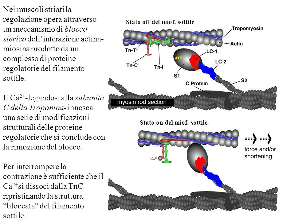 Nei muscoli striati la regolazione opera attraverso un meccanismo di blocco sterico dellinterazione actina- miosina prodotto da un complesso di protei