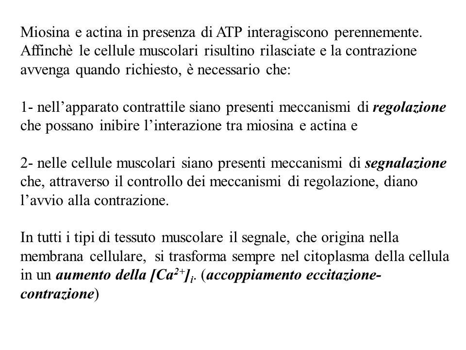 Miosina e actina in presenza di ATP interagiscono perennemente. Affinchè le cellule muscolari risultino rilasciate e la contrazione avvenga quando ric