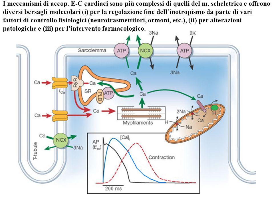 I meccanismi di accop. E-C cardiaci sono più complessi di quelli del m. scheletrico e offrono diversi bersagli molecolari (i) per la regolazione fine