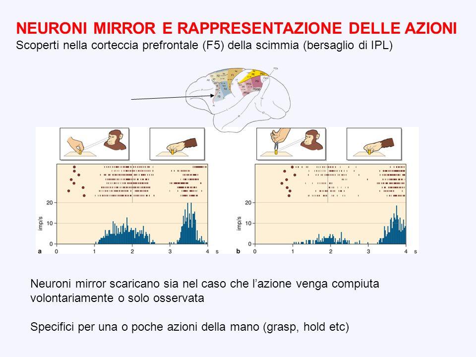 NEURONI MIRROR E RAPPRESENTAZIONE DELLE AZIONI Scoperti nella corteccia prefrontale (F5) della scimmia (bersaglio di IPL) Neuroni mirror scaricano sia
