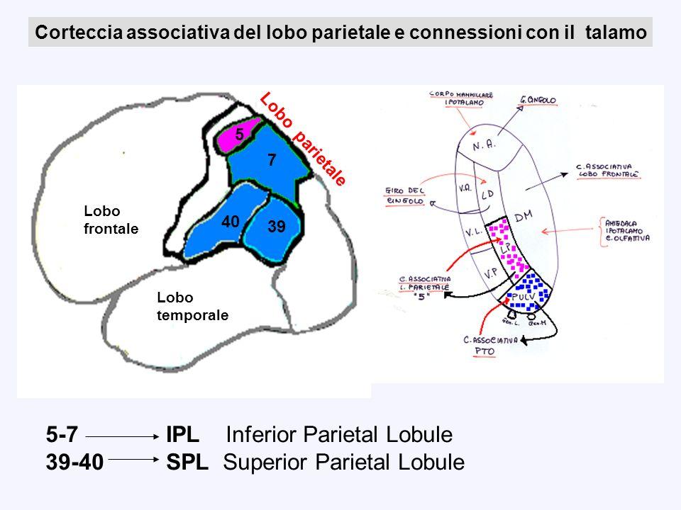 Lobo occipitale 5 7 39 40 Lobo temporale Lobo frontale Lobo parietale Corteccia associativa del lobo parietale e connessioni con il talamo 5-7 IPL Inf