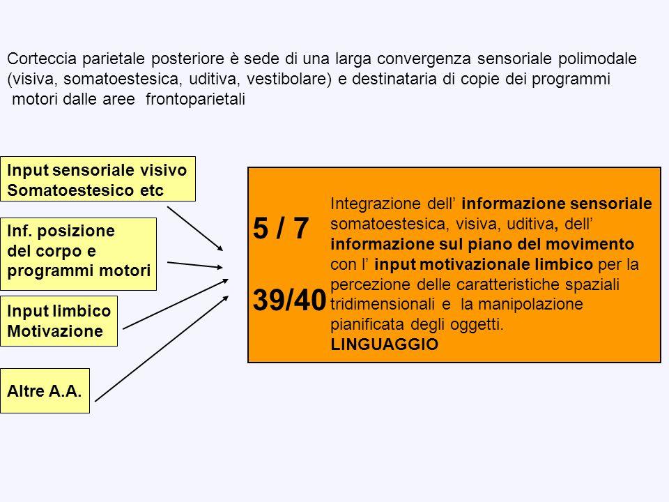 Svolge funzioni percettive somatiche, visive ed auditive integrate in percezioni complesse attinenti alla sfera motoria Elaborazione del contesto spaziale in cui si eseguono i movimenti volontari diretti a bersagli Preparazione del movimento, orientamento dellattenzione Integrazione sensori-motoria per la funzione del linguaggio Parietale dorsale Aree 5 - 7 Parietale ventrale Aree 39-40 DESCRIZIONE DEGLI OGGETTI E DELLO SPAZIO PER LAZIONE OBJECT-DIRECTED CORTECCIA ASSOCIATIVA PARIETALE