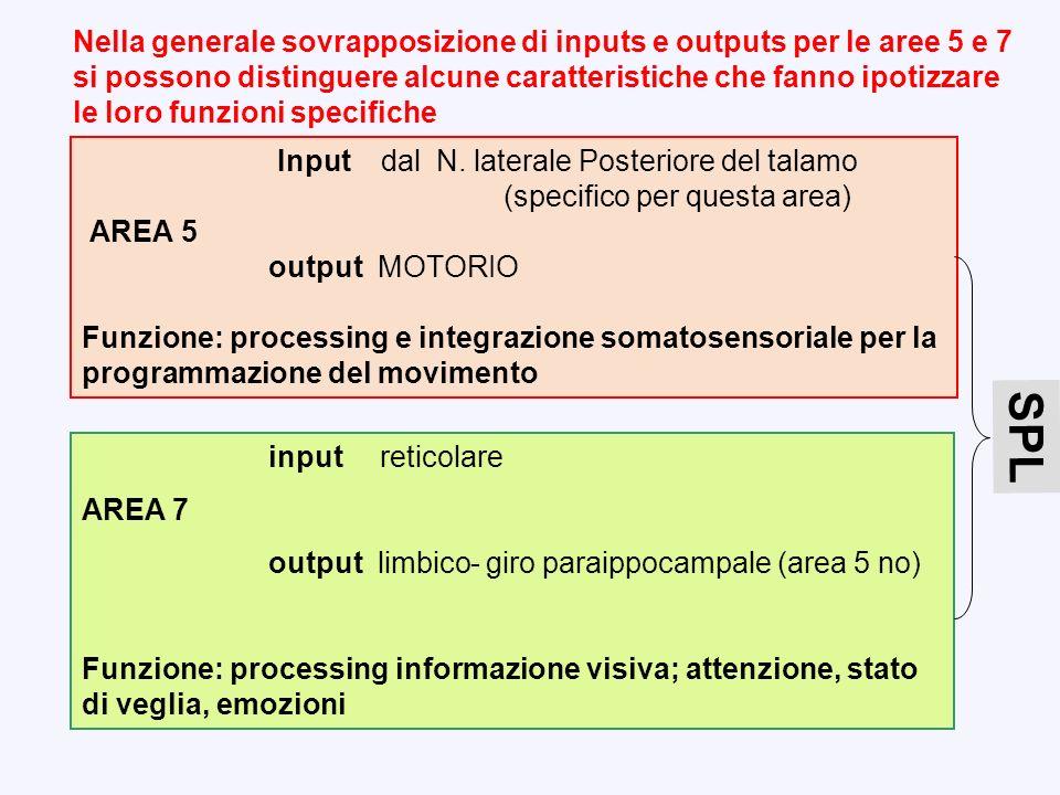 Input dal N. laterale Posteriore del talamo (specifico per questa area) AREA 5 output MOTORIO Funzione: processing e integrazione somatosensoriale per