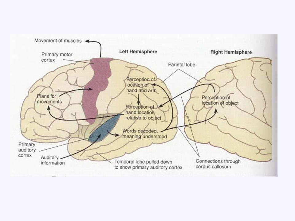 NEURONI REACHING DI SPL Neuroni che scaricano prima e durante movimenti solo quando object directed.