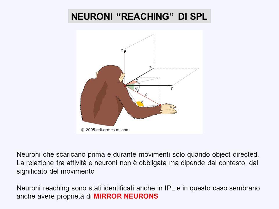 NEURONI MIRROR E RAPPRESENTAZIONE DELLE AZIONI Scoperti nella corteccia prefrontale (F5) della scimmia (bersaglio di IPL) Neuroni mirror scaricano sia nel caso che lazione venga compiuta volontariamente o solo osservata Specifici per una o poche azioni della mano (grasp, hold etc)